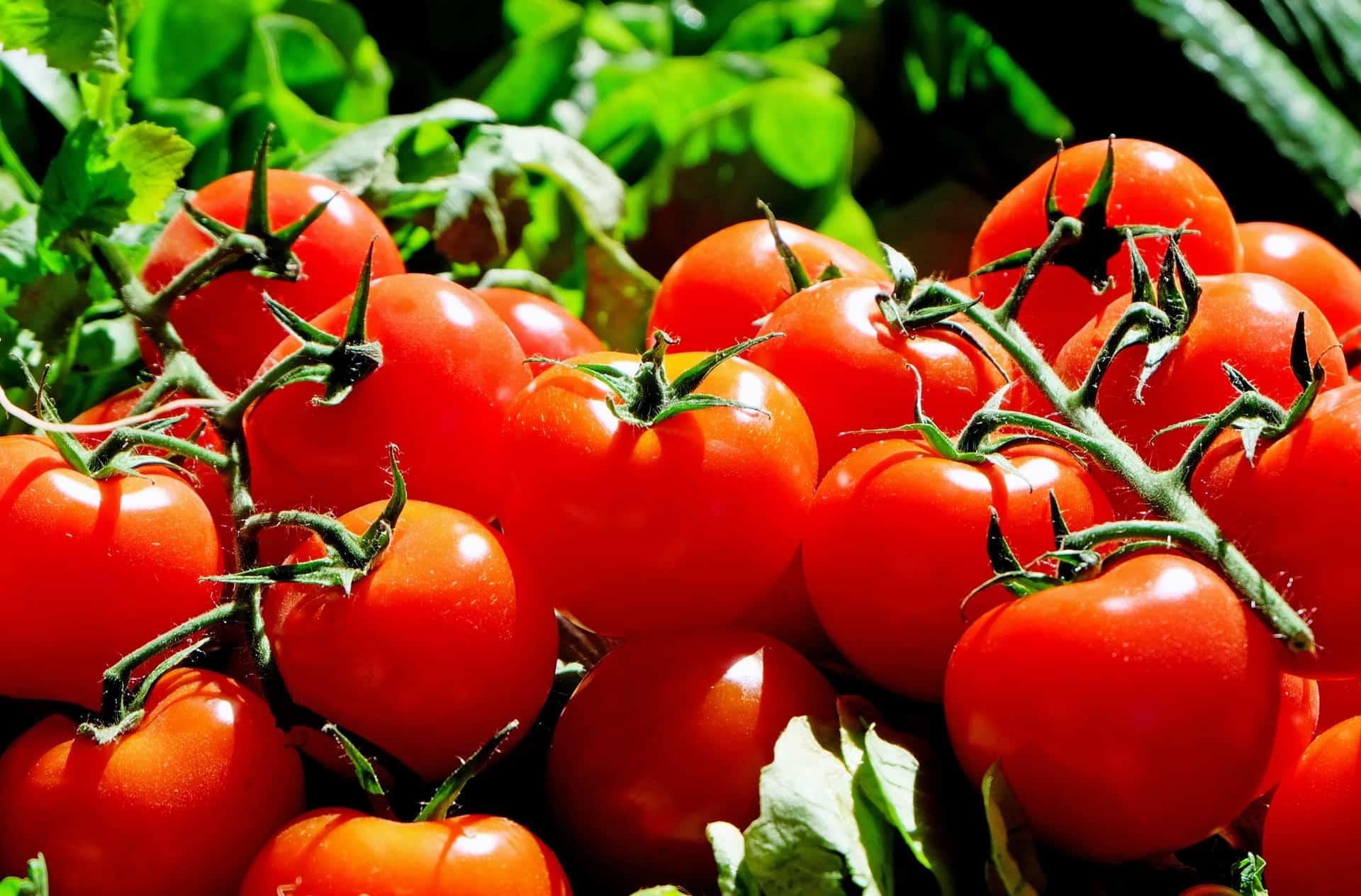 gesunde Tomaten am Strauch